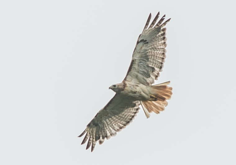 Red-Tailed Hawk cropped