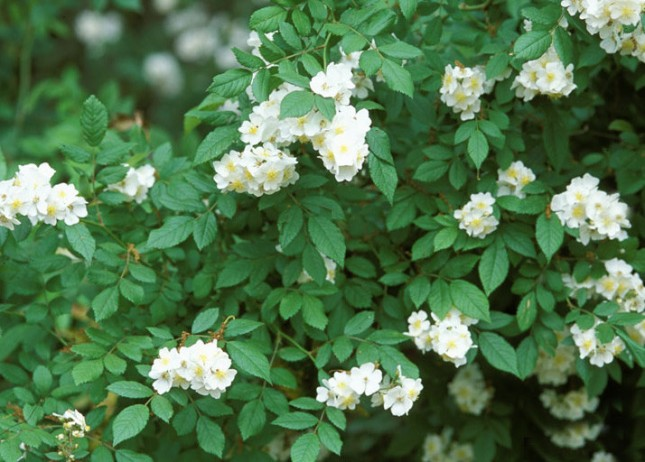 multiflora rose Penn State