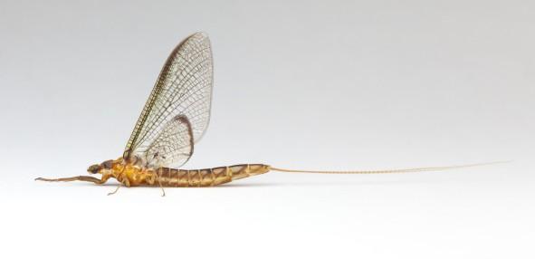 peter grant - mayfly 1